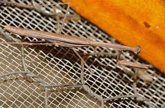Thespid Mantis (Hoplocorypha macra) male (berniedup) Tags: mantis southafrica kruger tamboti thespidae hoplocoryphamacra taxonomy:binomial=hoplocoryphamacra