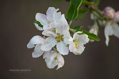 Apple Blossoms (andriana andreeva photography) Tags: green apple spring nikon blossom may orchard 5300