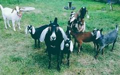 All girls, no boys allowed (2-Dog-Farm) Tags: goatsbabies copyright2015pleasecontact2dogfarm outdoorsgrassgreen allgirlsnoboysallowed