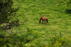 Horse (iweatherman) Tags: horse jeju jejudo    seogwipo jejuisland songaksan   songak