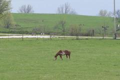 Along the Road 4-21-16 01 (anothertom) Tags: horse animals overcast iowa 2016 alongtheroad iowacounty eatinggrass sonyrx100ii