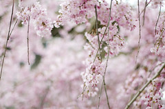 Early Spring (Jessica Lisbeth) Tags: pink flowers mayflowers