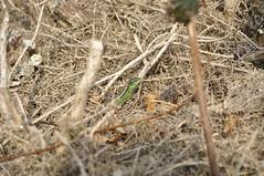 Emerald in the beige. Male L.agilis (Sky and Yak) Tags: green nature sand reptile lizard dorset emerald naturalworld basking herpetology bask lacerta agilis reptilesandamphibians