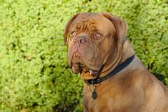 19:41:42 (Martin Werge Nissen) Tags: dog sun animal spring maximus doguedebordeaux canonef70200mmf4lisusm