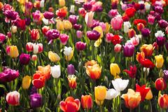 Tulip Fest (23 of 26) (evan.chakroff) Tags: flowers festival washington spring unitedstates tulips tulip april mountvernon tulipfestival mtvernon roozengaarde 2016