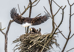 Eaglets And Their Parents (Chris Parmeter Photography (smokinman88)) Tags: baby bird nature animal sport flying washington nikon nest young bald sigma raptor valley tc skagit eagles birdofprey d500 eaglet 14x 150600mm