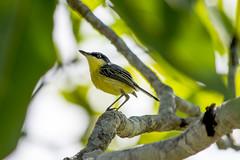 Yellow Bird (sostenesmonteiro) Tags: bird nature birds yellow nikon natureza passarinho aves ave passaro passaros passarinhos d5200 sostenesmonteiro totecmt