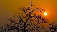 The Crow (Chiradeep.) Tags: sun tree silhouette deadtree crow
