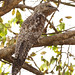 Great Potoo, Nyctibius grandis
