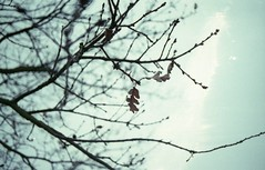 Last leaves (Alessandra Papagni) Tags: winter sky cloud white plant cold tree film me nature leaves colo foglie clouds last analog 35mm dead photography 50mm leaf lomography nuvole sad asahi pentax cloudy hiver dream natura iso triste negative ciel cielo 400 roll epson dreamy rolls foglia mm analogue fotografia 50 35 inverno ramo bianco blanc malinconia analogica rami argentique sogno secco analogic irreal pentaxme nuvoloso pellicola pellicule melancoly cupa argentea v370