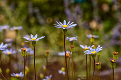 primavera (Pat Celta) Tags: flowers flores flower macro primavera spring flora nikon d70 flor galicia galiza fotos ourense florecillas macrofotografa