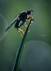 Outline (Ingeborg Ruyken) Tags: morning macro green grass contrast insect fly spring waterdrop flickr groen april gras outline lente dropbox ochtend vlieg 2016 grashalm empel waterdruppel strontvlieg natuurfotografie yellowdungfly 500pxs