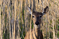 White-tailed Deer (CritterQueen) Tags: park bay spring state deer boardwalk whitetailed maumee