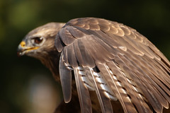 falcon (-j0n4s-) Tags: wild color bird art nature animals canon flickr dof bokeh wildlife feather falcon tamron animalplanet 70300 tamron70300 j0n4s