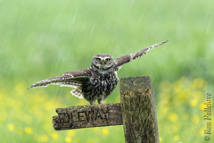 Little Owl (Athene noctua) (Ron Fullelove) Tags: field rain yellow shower photography wings meadow noctua raining athene bridleway buttercups littleowl englanduk ronfullelove
