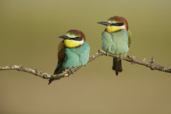 Bee-Eaters (Daniel Trim) Tags: bird nature birds wow photography photo spain wildlife birding bee hide iberia eater beeeater iberian hides calera merops apiaster beeater eurpean
