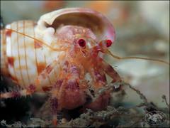 Southern Pagurid Crab (Pagurus sinuatus) (Brian Mayes) Tags: hermitcrab canon underwater crab australia scuba diving pipeline nelsonbay g16 1709 brianmayes pagurussinuatus canong16 southernpaguridcrab