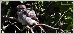 IMG_1093-cropwcsbaby (ryancarter2012) Tags: bird ling cala pledge shrike 2016 galdana woodchat algendar gorgejune