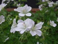 klein (Bephep Y) Tags: blume blte wiese dufft weis grn bltter pflanze lbeck deutschland natur