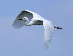 Giant Egret In Flight Pass (Doyleecart Photography) Tags: summer nature flickr flight somerset elegant tor egret waterbirds mendip westcountry rspb hamwall thelevels canon7dmkii doyleecart