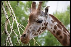 Giraffe (GadgetHead) Tags: giraffe chesterzoo 55300mmvrlens 55300mmf4556 55300mmlens 55300mmvrf4556 55300mm nikon nikond3100 d3100 northwest northwestengland england uk unitedkingdom gb zoo 2016