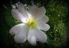210616 (roberke) Tags: flower green nature fleur closeup garden petals groen flor natuur tuin bloem