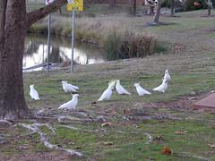 Cockatoos near the Jerrabomberra Southern Cross windmill (sarracenia.flava) Tags: new windmill wales pattern cross south australia southern cockatoo iz jerrabomberra