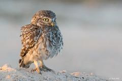 _SEN7803-E (Sento74) Tags: birds fauna ngc aves athenenoctua mochueloeuropeo nikond7100