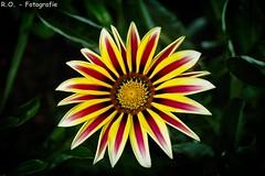 Gazanie / Gazania (R.O. - Fotografie) Tags: flower nature up closeup lumix close bokeh outdoor natur bad panasonic gazania blume fz 1000 dmc kurpark gazanie mittagsgold driburg schrfeverlauf gazanien fz1000 dmcfz1000