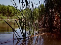 Reeds (EllenJo) Tags: pentax cottonwoodarizona 2016 june19 jailtrail 86326 ellenjo ellenjoroberts pentaxqs1