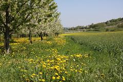 ckuchem-1286 (christine_kuchem) Tags: wiese blte frhling lwenzahn obstbaum frhjahr obstbume streuobstwiese streuobst bltezeit streuobstwiesenweg
