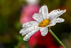 Wet daisy! (pat.thom974) Tags: flower macro drop daisy