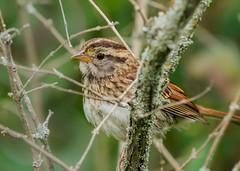 Birds-194.jpg Juvenile Savannah Sparrow peaking through the twigs (luc_pic) Tags: d500 birdwatching wildlife brush trees nature young juvenile savannah sparrow brid twigs
