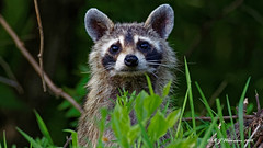 Raccoon-Portrait (Aria (RJWarren)) Tags: nature wildlife fauna midwest iowa canon t3i tamron150600mm walnutwoodsstatepark raccoon procyonlotor curious cute