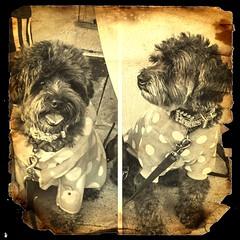 image (Dark YorkiPoos) Tags: terripoo small cute mix poodle yorkie hypoalergenic fluffy yorkiepoo kia mia