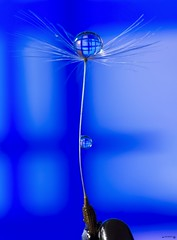 The balancing act (Anne Rusten) Tags: blue abstract colour macro art water droplets artistic indoor refraction droplet dandelionseed focusstacking dandelionart