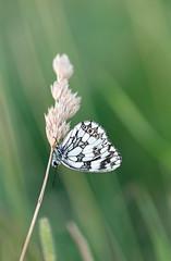 Roosting Marbled White! (RiverCrouchWalker) Tags: marbledwhite butterfly melanargiagalathea roosting grass fenncreek southwoodhamferrers essex evening july 2016 summer elitebug