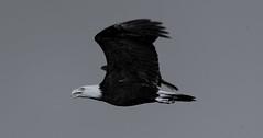 Riverbend Bald Eagle morning flight 3 07-29-2016 (jonathan.pratt14) Tags: haliaeetusleucocephalus americanbaldeagle adultbaldeagle baldeagle birdofprey blackandwhite bnw raptor riverbendeagles birdinflight bif
