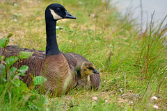 Lesser Canada Goose and gosling in Alaska. (E P Rogers) Tags: goose brantacanadensisparvipes canadagoose usa alaska wildfowl young gosling wing