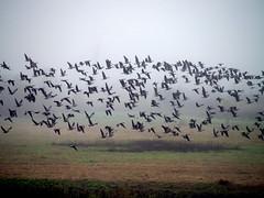 50-pb077070 (healthyself97045) Tags: geese ducks canadiangeese oregonbirds tualatinrivernationalwildliferefuge wintermigration beverlymason wwwtheradianttouchcom birding2014 tualatinriverbirds wwwelopeinoregoncom