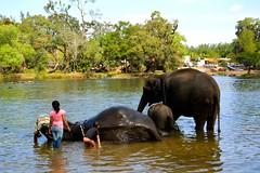 DSC_0149_2 (drs.sarajevo) Tags: india karnataka madikeri kaveririver dubareelephantpark