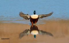 Northern Shoveler (Spatula clypeata) (TARIQ HAMEED SULEMANI) Tags: travel tourism nature colors birds trekking canon tariq concordians tariqhameedsulemani jahanian