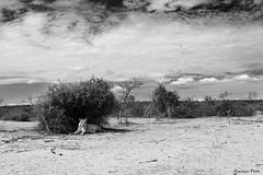 Lioness @ Chobe Riverfront (Zsuzsa Por) Tags: africa animal wildlife lion safari bigcat felines botswana chobe lioness animalplanet 2470l wildlifeafrica canonef2470mmf28 canonistas canoneos7d