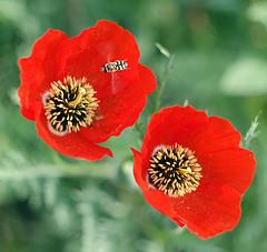 poppy #Helios-44-2 (Vladi_L) Tags: nature samsung poppy helios nx helios442 nx300