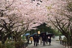 At full bloom.. (Shubhashish Chakrabarty) Tags: japan spring rainyday blossom kamakura 桜 cherryblossom 日本 nikkor 花 kanagawa kenchoji 鎌倉 神奈川 春 さくら 花見 雨 zentemple