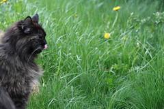 The Taste of Spring (Vasquezz) Tags: cat katze siberian siberiancat sibirische  zarah forestcat coth waldkatze fantasticnature kittysuperstar kittyschoice sibirischekatze catmoments alittlebeauty hellopussycat  coth5 sunrays5