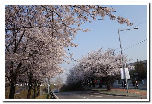 여의도벚꽃03