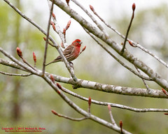 House Finch (mikerhicks) Tags: usa bird geotagged spring unitedstates nashville hiking tennessee wildlife housefinch edwinwarnerpark warnerparks vaughnsgap canon7dmkii sigma18250mmf3563dcmacrooshsm geo:lat=3606104333 geo:lon=8690636333