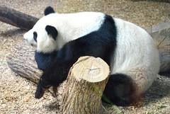 Panda chilling (Krasivaya Liza) Tags: city atlanta urban nature animal animals ga georgia zoo natural atl
