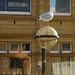 Herring Gull Morecambe